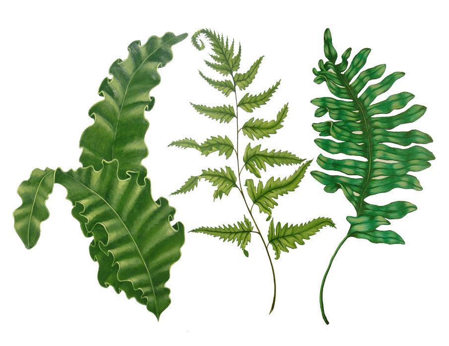 FERN BOTANICALS wwwericdbearecom : ferns20copy905 from ebeare.com size 905 x 699 jpeg 195kB